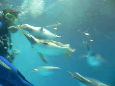 水中でのペンギンの餌付け