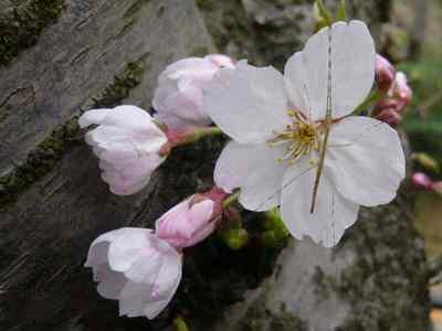 ナナフシの子供と桜