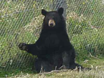 挨拶する熊さん