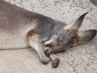 眠るカンガルー