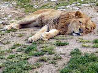 ねむるライオン