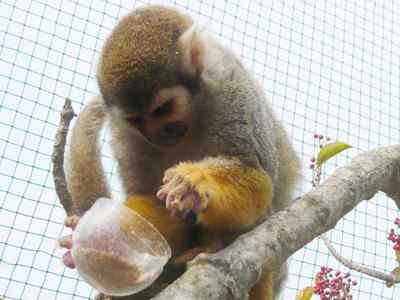 餌の入ったカプセルを片手に リス猿