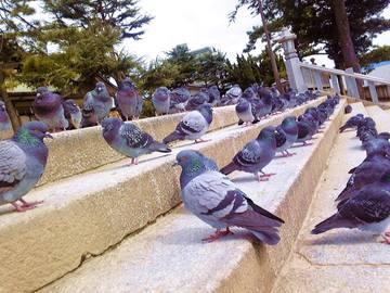 亀山八幡宮にいる野良ハト