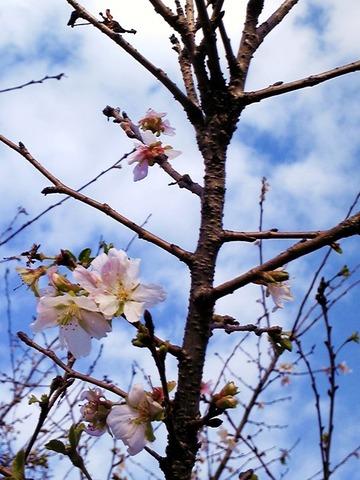 北九州美術館に咲く、冬にさく桜