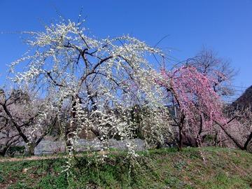 大山町の梅祭り