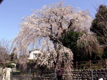 大原のしだれ桜