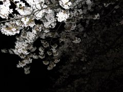 小倉城の夜桜