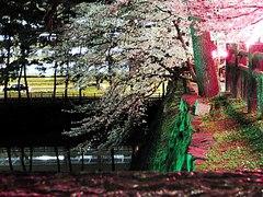 小倉城の夜桜見学