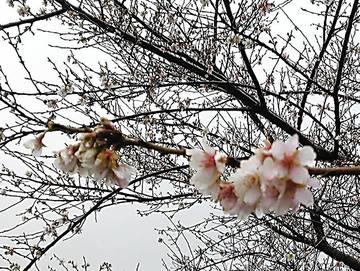 北九州美術館の季節外れの桜