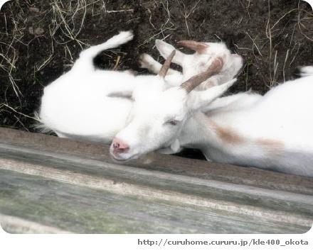 ヤギを数えて眠ります。