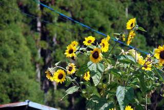 黒川温泉では、向日葵が綺麗でした(笑)