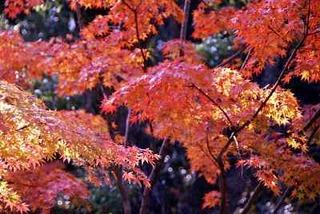 九州の平野にも、やっと、紅葉が訪れました。