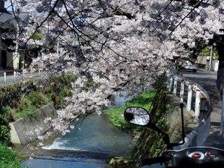 さくら咲く/北九州市