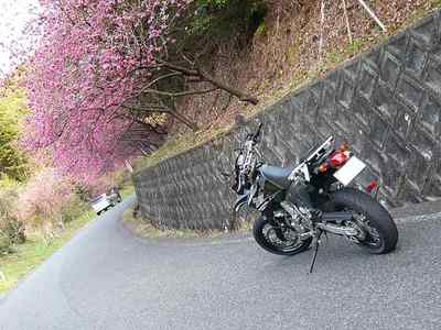 歌野川ダムの桜